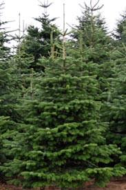Welche tannen und fichten gibt es f r den weihnachtsbaum for Weihnachtsbaum arten