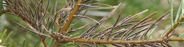 Tannennadel-Ritzenschorf (Lirula nervisequia)